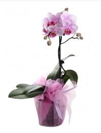 1 dal pembe orkide saksı çiçeği  Niğde anneler günü çiçek yolla