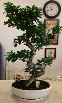 100 cm yüksekliğinde dev bonsai japon ağacı  Niğde kaliteli taze ve ucuz çiçekler