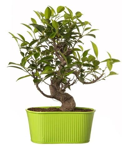 Ficus S gövdeli muhteşem bonsai  Niğde çiçek satışı