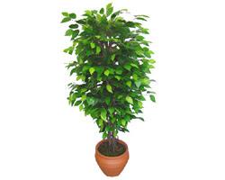 Ficus Benjamin 1,50 cm   Niğde online çiçek gönderme sipariş