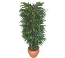 Niğde çiçek satışı  Özel Mango 1,75 cm yüksekliginde