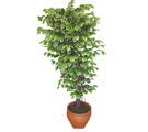 Ficus özel Starlight 1,75 cm   Niğde internetten çiçek satışı
