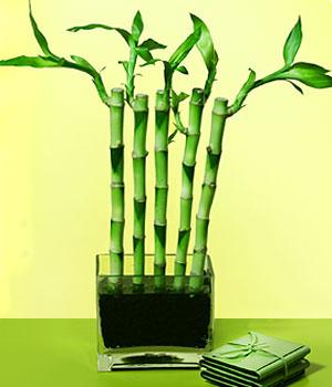 Niğde online çiçek gönderme sipariş  Good Harmony Lucky Bamboo camda
