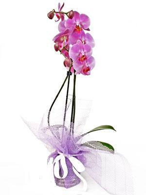 Niğde online çiçek gönderme sipariş  Kaliteli ithal saksida orkide