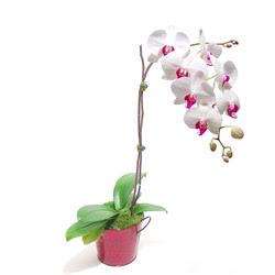 Niğde online çiçekçi , çiçek siparişi  Saksida orkide