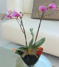 Niğde çiçekçi telefonları  tek dal ikili orkide saksi çiçegi