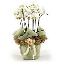 Niğde çiçek satışı  3 dal orkide , saksi çiçegi , 3 kök orkide