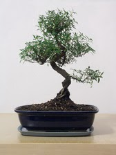 ithal bonsai saksi çiçegi  Niğde çiçekçi mağazası