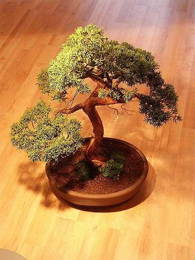 ithal bonsai saksi çiçegi  Niğde 14 şubat sevgililer günü çiçek