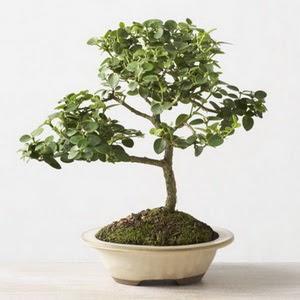 ithal bonsai saksi çiçegi  Niğde cicekciler , cicek siparisi