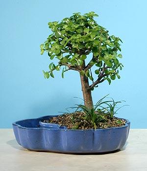 ithal bonsai saksi çiçegi  Niğde ucuz çiçek gönder