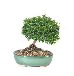 ithal bonsai saksi çiçegi  Niğde çiçekçiler