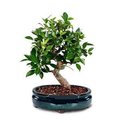 ithal bonsai saksi çiçegi  Niğde çiçek satışı