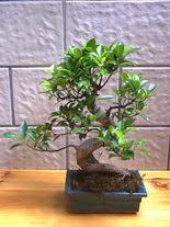 ithal bonsai saksi çiçegi  Niğde cicek , cicekci