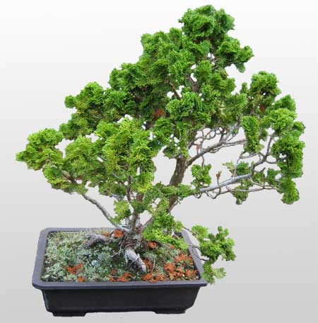 ithal bonsai saksi çiçegi  Niğde kaliteli taze ve ucuz çiçekler