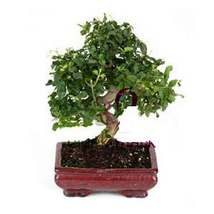ithal bonsai saksi çiçegi  Niğde online çiçek gönderme sipariş