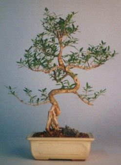 Niğde İnternetten çiçek siparişi  ithal bonsai saksi çiçegi  Niğde çiçekçi mağazası