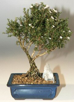 Niğde çiçek gönderme sitemiz güvenlidir  ithal bonsai saksi çiçegi  Niğde çiçek siparişi sitesi