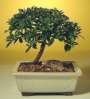 Niğde çiçek yolla  ithal bonsai saksi çiçegi  Niğde internetten çiçek satışı