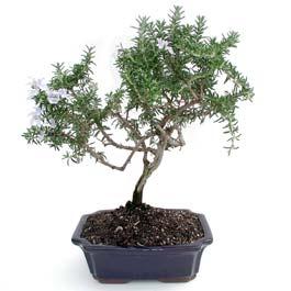 ithal bonsai saksi çiçegi  Niğde çiçek yolla , çiçek gönder , çiçekçi