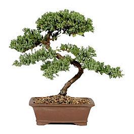 ithal bonsai saksi çiçegi  Niğde güvenli kaliteli hızlı çiçek
