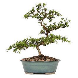 Niğde kaliteli taze ve ucuz çiçekler  ithal bonsai saksi çiçegi  Niğde güvenli kaliteli hızlı çiçek