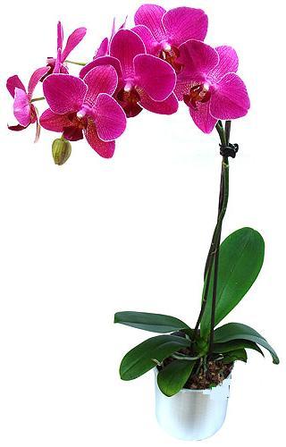 Niğde çiçekçi telefonları  saksi orkide çiçegi