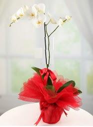 1 dal beyaz orkide saksı çiçeği  Niğde çiçek online çiçek siparişi