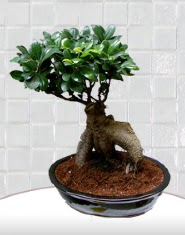 saksı çiçeği japon ağacı bonsai  Niğde anneler günü çiçek yolla