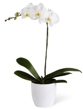 1 dallı beyaz orkide  Niğde çiçek siparişi vermek