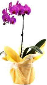 Niğde çiçek satışı  Tek dal mor orkide saksı çiçeği