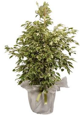 Orta boy alaca benjamin bitkisi  Niğde çiçek , çiçekçi , çiçekçilik