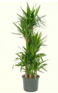 7 li yucca saksı bitkisi  Niğde uluslararası çiçek gönderme