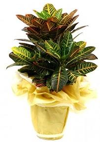Orta boy kraton saksı çiçeği  Niğde çiçek siparişi vermek