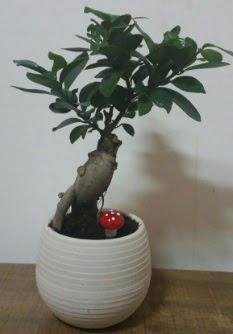 Bonsai japon ağacı saksı çiçeği  Niğde güvenli kaliteli hızlı çiçek