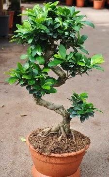 Orta boy bonsai saksı bitkisi  Niğde hediye çiçek yolla