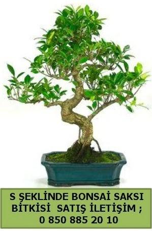 İthal S şeklinde dal eğriliği bonsai satışı  Niğde online çiçekçi , çiçek siparişi