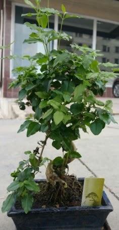 Bonsai japon ağacı saksı bitkisi  Niğde çiçekçi mağazası