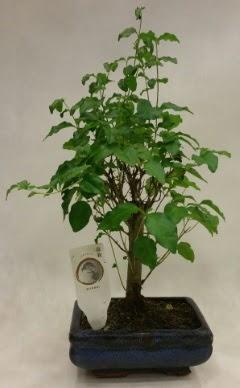 Minyatür bonsai japon ağacı satışı  Niğde çiçek yolla , çiçek gönder , çiçekçi