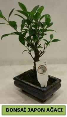 Bonsai japon ağacı saksı bitkisi  Niğde uluslararası çiçek gönderme