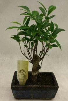 Japon ağacı bonsai bitkisi satışı  Niğde çiçek yolla , çiçek gönder , çiçekçi