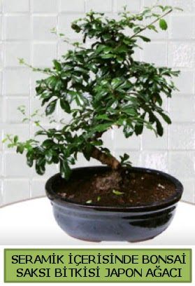 Seramik vazoda bonsai japon ağacı bitkisi  Niğde çiçek satışı