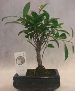 Bonsai japon ağacı bitkisi satışı  Niğde güvenli kaliteli hızlı çiçek