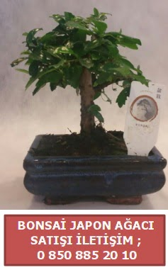 Japon ağacı minyaür bonsai satışı  Niğde İnternetten çiçek siparişi