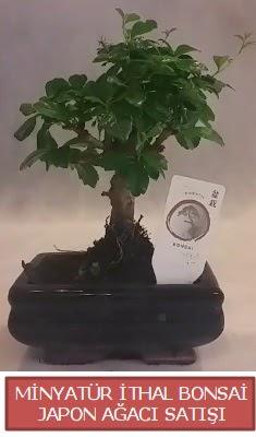 Küçük görsel bonsai japon ağacı bitkisi  Niğde çiçek gönderme sitemiz güvenlidir
