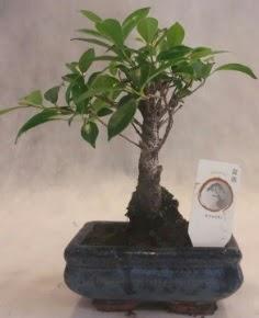 Bonsai ağacı japon ağaç bitkisi  Niğde yurtiçi ve yurtdışı çiçek siparişi
