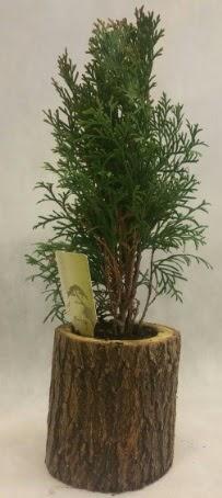 SINIRLI STOK Selvi Bonsai Doğal kütükte  Niğde kaliteli taze ve ucuz çiçekler