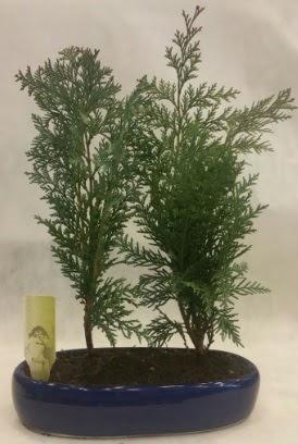 SINIRLI SAYIDA Selvi Ağacı bonsai ikili  Niğde çiçek yolla , çiçek gönder , çiçekçi