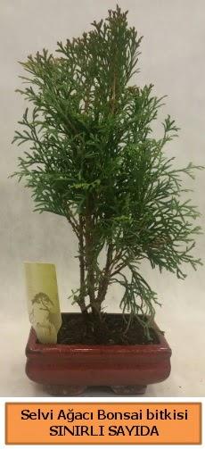 Selvi ağacı bonsai japon ağacı bitkisi  Niğde İnternetten çiçek siparişi