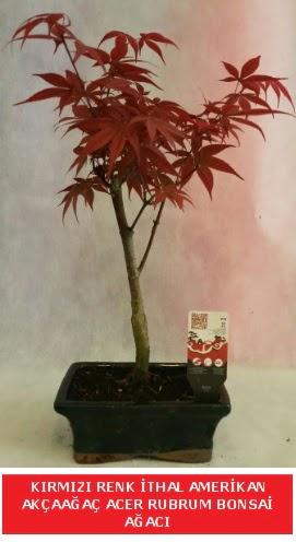 İTHAL ACER RUBRUM BONSAİ AĞACI  Niğde güvenli kaliteli hızlı çiçek